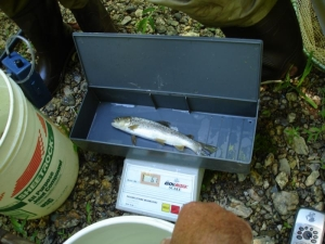 A digital scale is used to weigh a fish found in sampling.
